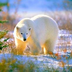 Canada Polar Bears - www.canadapolarbears.com