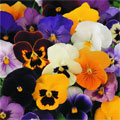 Winter Pansy Plants