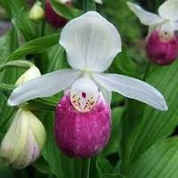 Cypripedium Reginae - Queen's Lady's Slipper