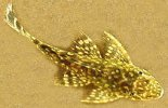 Plectostomus Catfish
