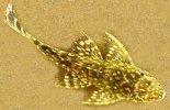 Plectostomus Catfish